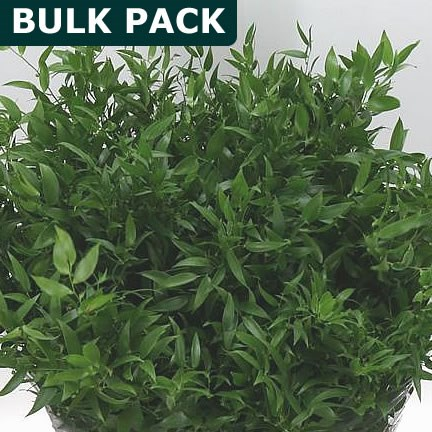 Soft Ruscus - Bulk Pack