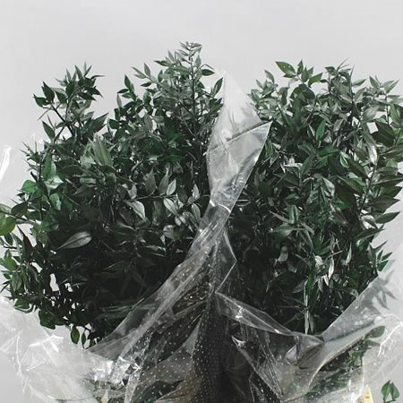 SOFT RUSCUS PRESERVED - DARK GREEN