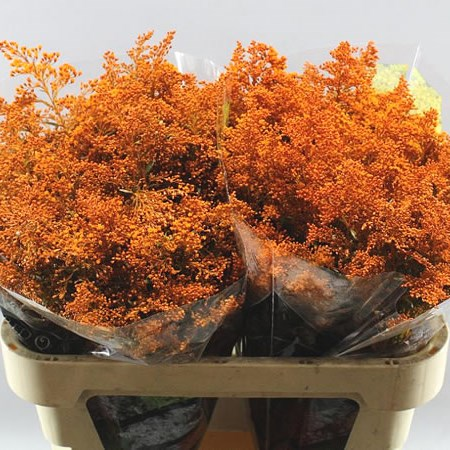 SOLIDAGO DYED ORANGE