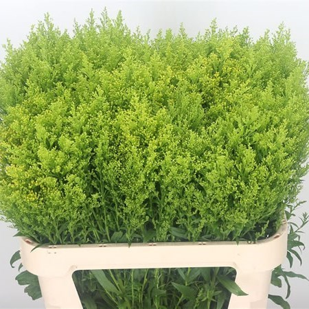 SOLIDAGO TARA GOLD