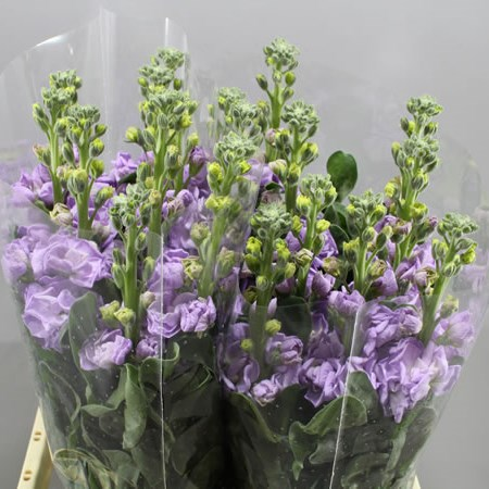 STOCKS PHANTOM LAVENDER