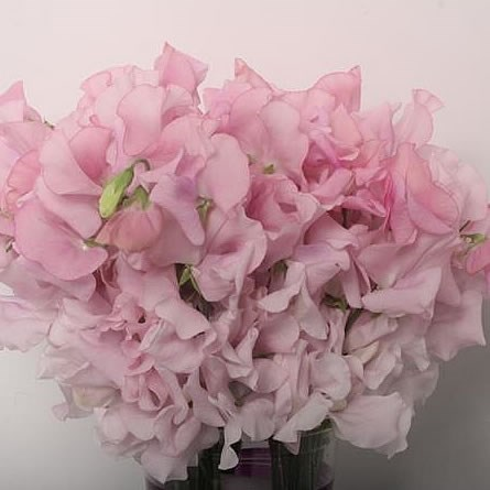 SWEET PEAS LIGHT PINK