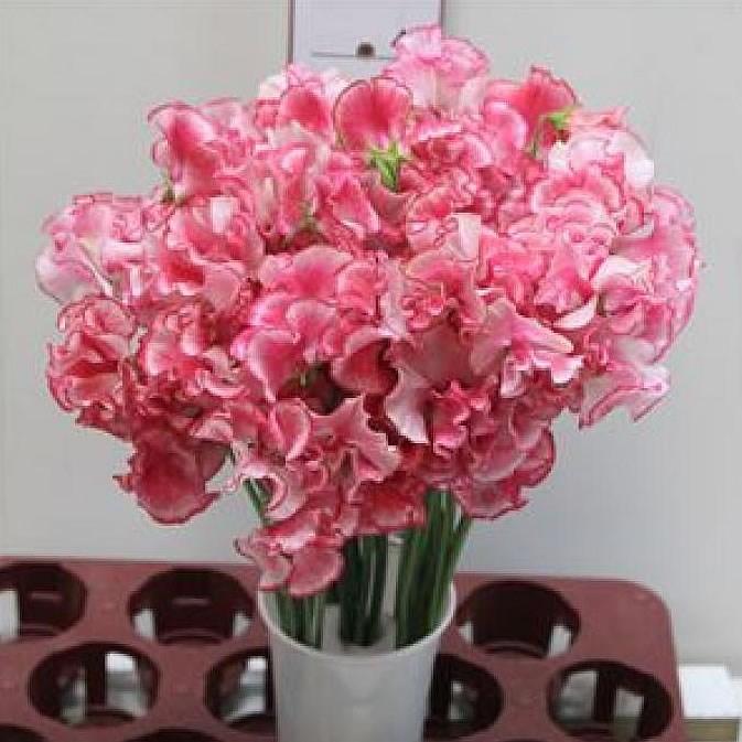 Sweet Peas | Wholesale Flowers UK | Wedding Flowers | Triangle Nursery
