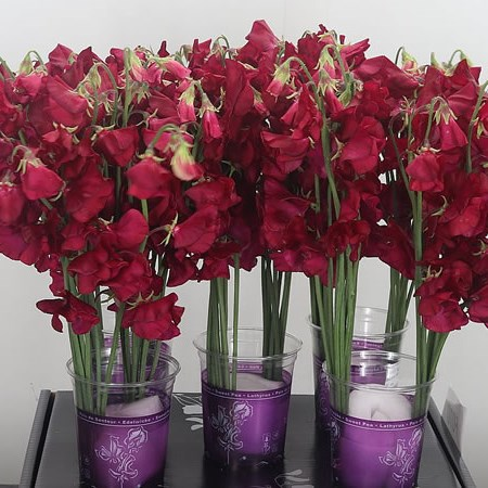 SWEET PEAS PARFUM DEEP RED