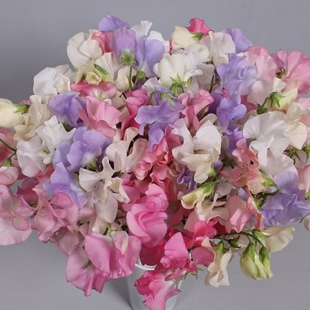 SWEET PEAS PASTEL MIX (COLS MAY VARY)