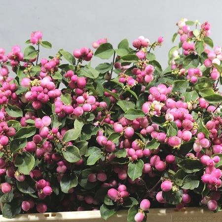 SYMPHORICARPOS MAGIC TEMPTATION
