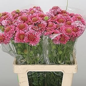 Scabious Candy Scoop