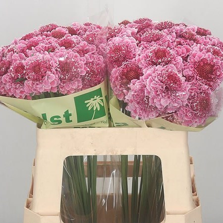 Scabious Cotten Candy Scoop