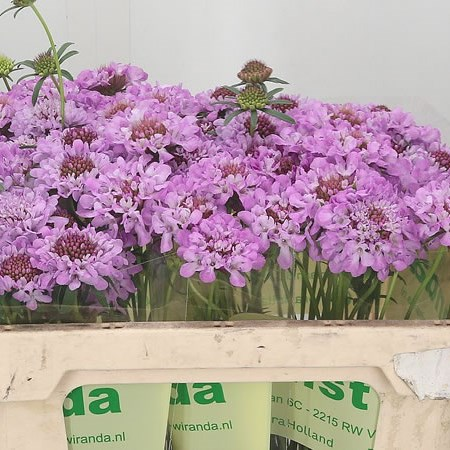 Scabious Focal Lilac Scoop