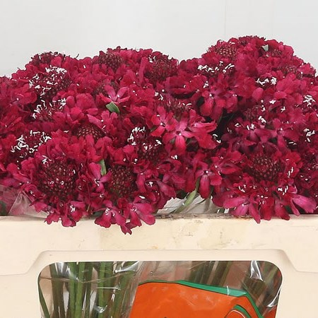 Scabious Focal Scoop Hot Pink