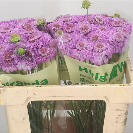 Scabious Focal Scoop Lilac