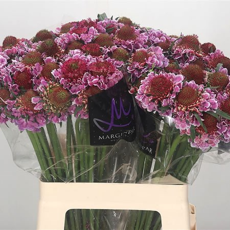 Scabious Focal Scoop Pink