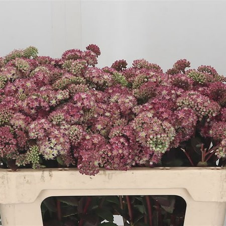 Sedum Red Rainbow