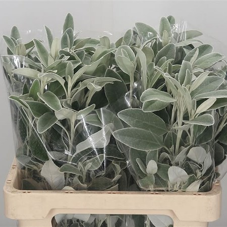 Senecio Full Moon (Dusty Miller)