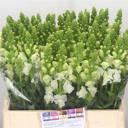Snapdragon Antibes White