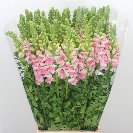 Snapdragon Apple Blossom (Italian)