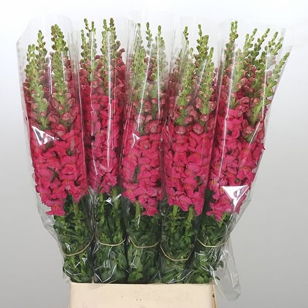 Snapdragon Cerise (French)