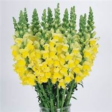 Snapdragon Cool Yellow