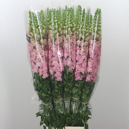 Snapdragon Pink (French)
