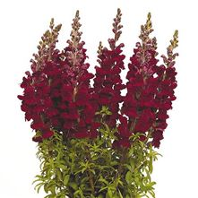 Snapdragon Potomac Red
