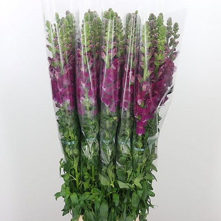 Snapdragon Purple (French)