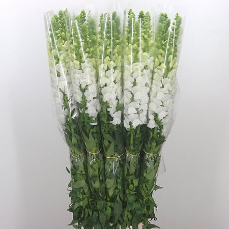 Snapdragon White (French)