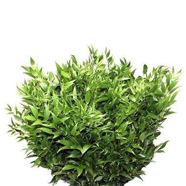 Soft Ruscus 100cm (Small Leaf)