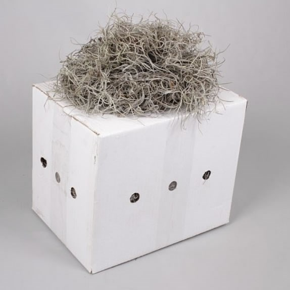 Spanish Moss Thick (1Kg Box)