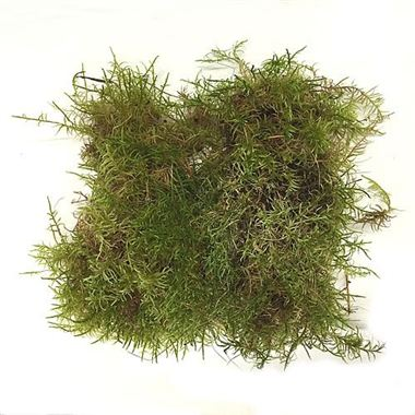 Moss - Natural English (Ideal for Wreath Making)