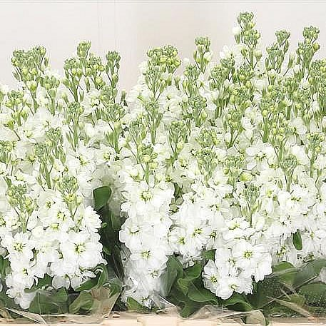 Stocks Wholesale Flowers Uk Wedding Flowers Triangle Nursery