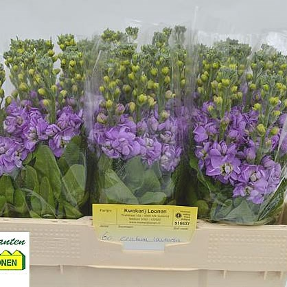 Stocks Centum Lavender