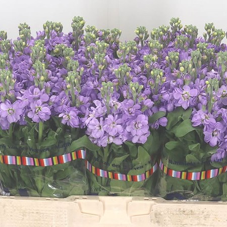 Stocks Figaro Lavender