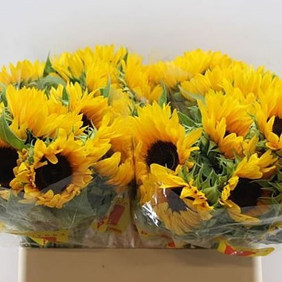 Sunflowers Fine Rich
