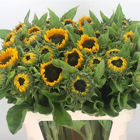 Sunflowers Sunrich Provence (Extra)