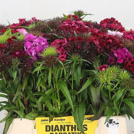 Sweet William Mix (Cols May Vary)