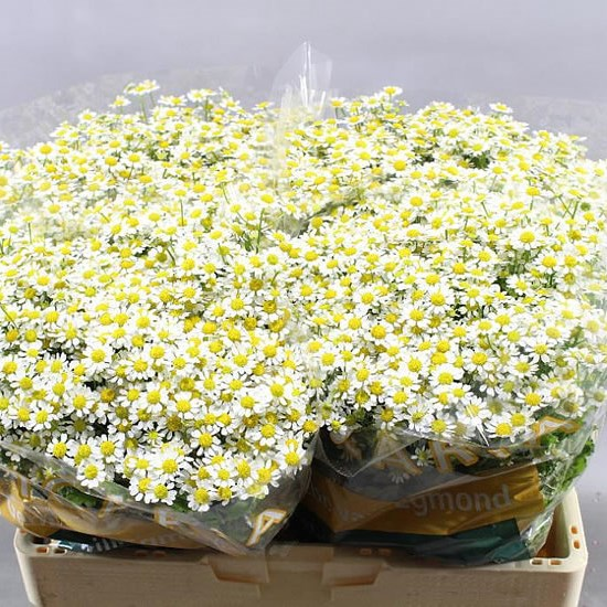 TANACETUM SINGLE VEGMO