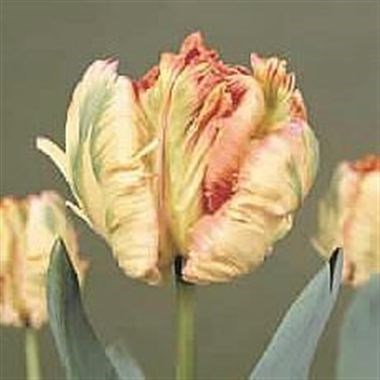 TULIPS APRICOT PARROT