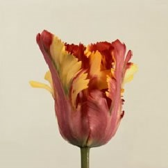 TULIPS FLAMING PARROT