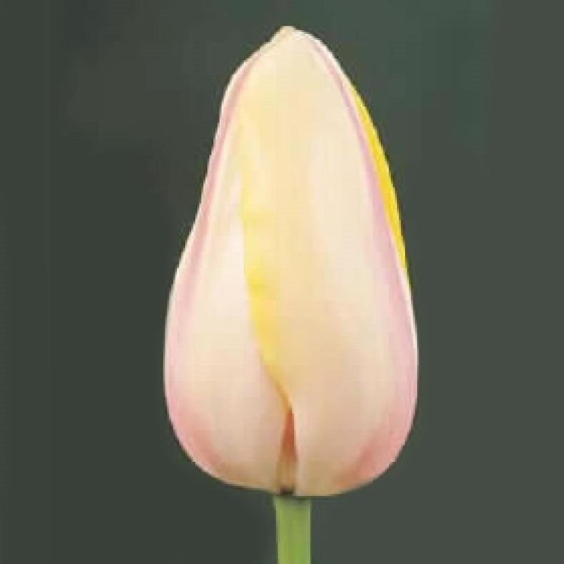 TULIPS - FRENCH CAMARQUE
