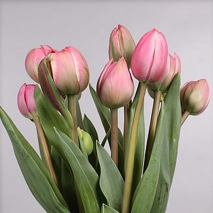 TULIPS - FRENCH DRUMLINE