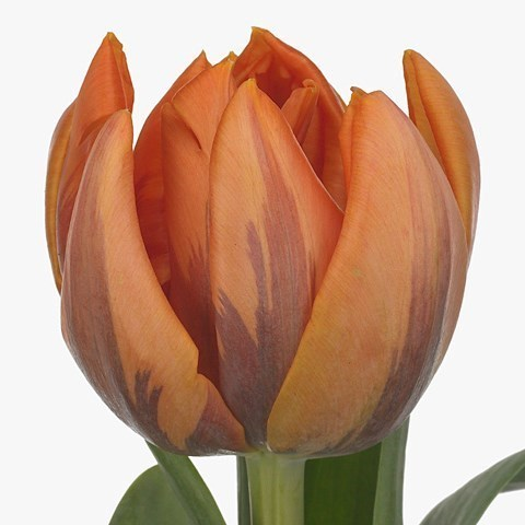 TULIPS ORANGE PRINCESS