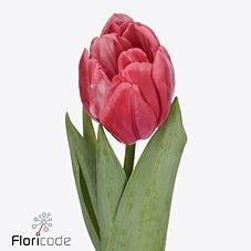 TULIPS PINK FOXTROT