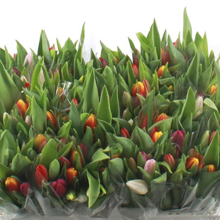 Tulip Mix (Cols May Vary)