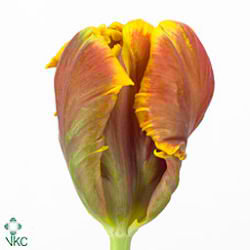 Tulips Bright (Parrot)