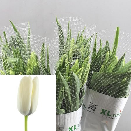 Tulips - French White Proud