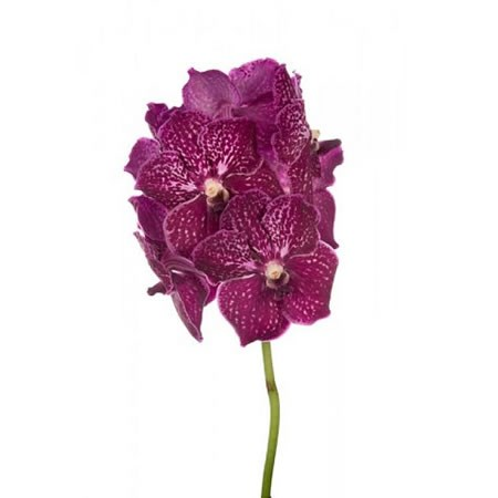 VANDA ORCHID - RUBY LOVE