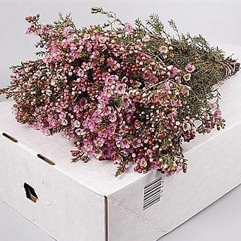 WAXFLOWER ADI