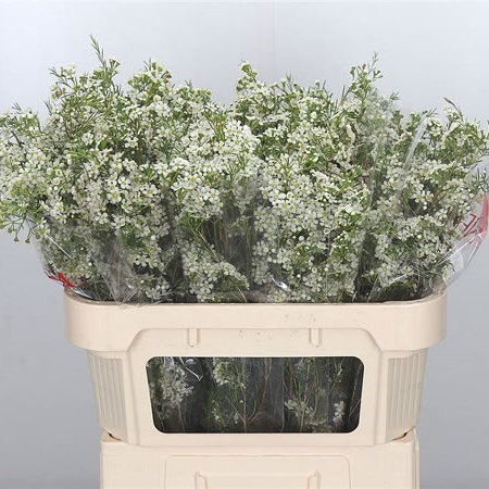 WAXFLOWER BLIZZARD