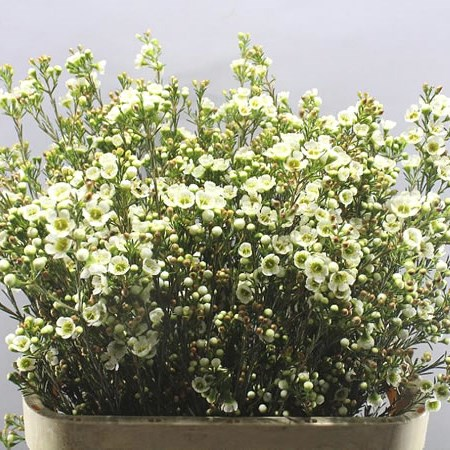 WAXFLOWER CASINO WHITE