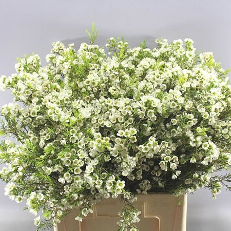 WAXFLOWER CRYSTAL PEARL